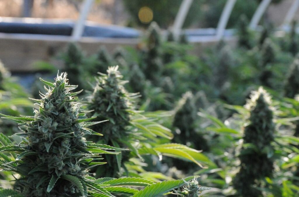 Plant Growth Regulator (PGRs): Weed on Steroids?
