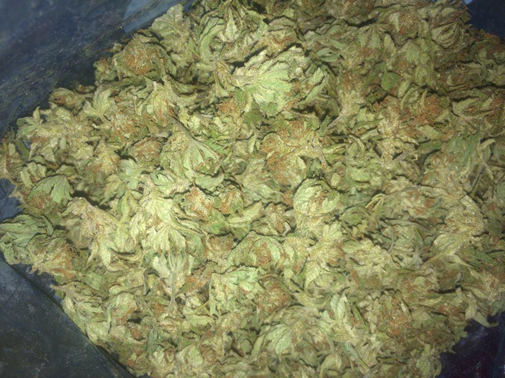 Fresh-frozen cannabis buds