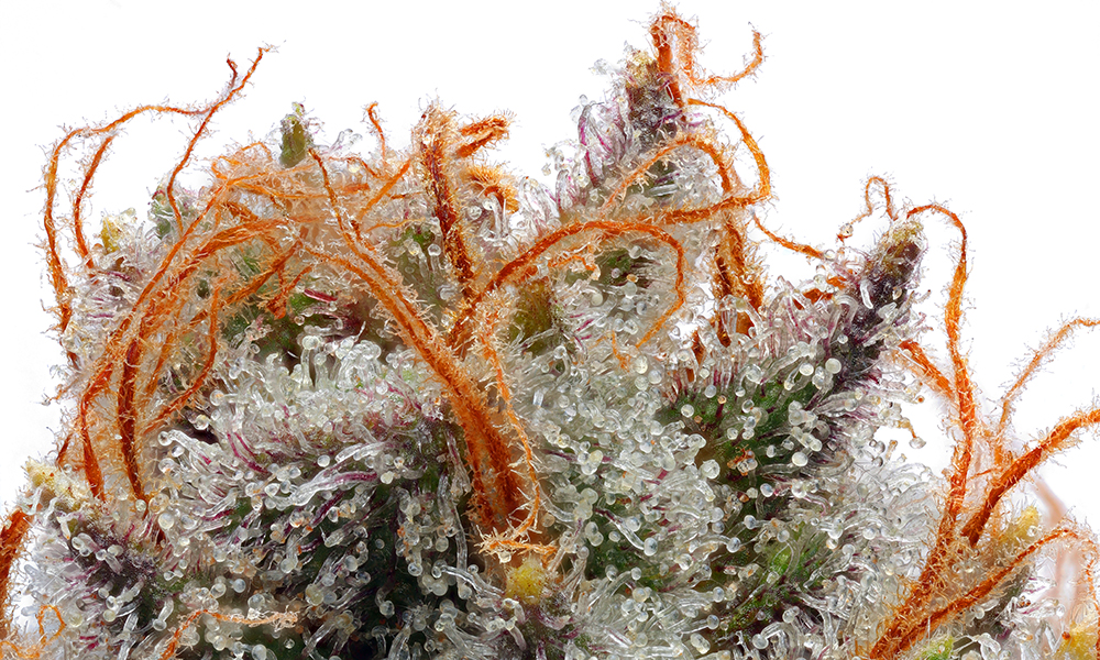 High Quality Strains for Hobbyist Growers