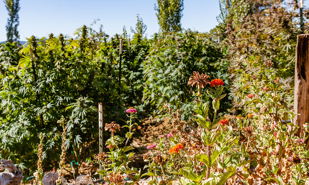 Tips for Planning Your Spring Cannabis Garden at Home