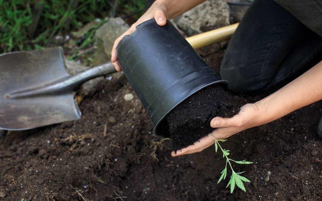 Gardening: Cannabis in 7 steps