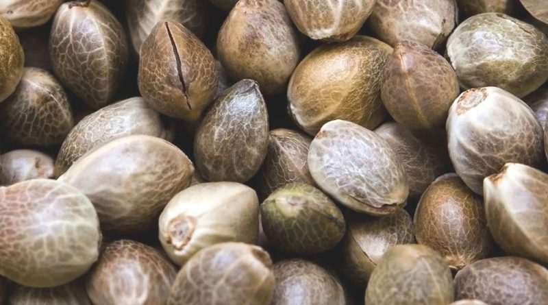 Ordering Cannabis Seeds on The Internet – How Does That Work?