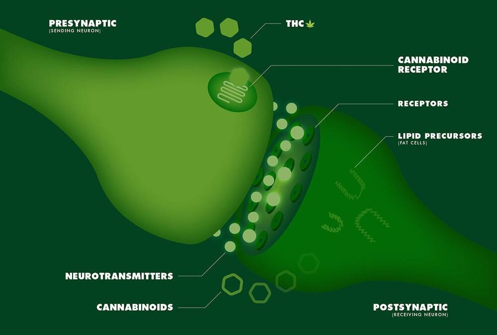 A Simple Guide to the Endocannabinoid System
