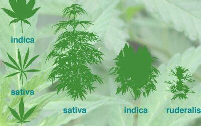 Indica vs. Sativa? – Part 1